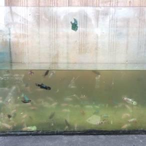 Ikan karin/pelaga betta