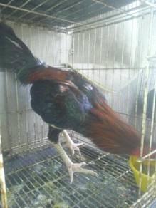 Ayam baik