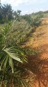 Sungai Pinggam, Benut oil palm tree land for sale