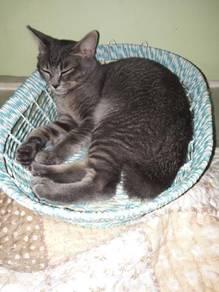 Grey Kitten Shortail