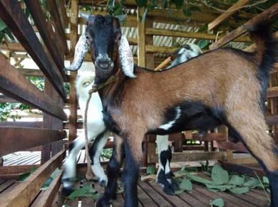 3 ekor kambing