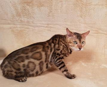 Show Quality Bengal With TICA Cert