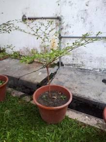 Pokok Doa Hijau (Bucida)