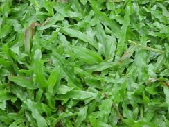 Rumput cow grass