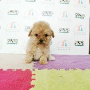 Cute Super Tiny Poodle Puppy * FEMALE / GIRL