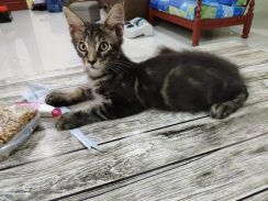 Pure Maine Coon - Pets for sale in Malaysia - Mudah my