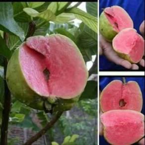 Anak pokok red seedless guava