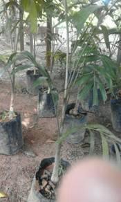 Pokok ekor musang