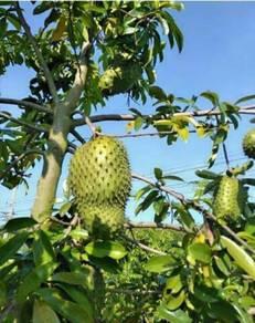 Anak pokok Durian Belanda