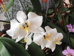 Orchid Flower for sales