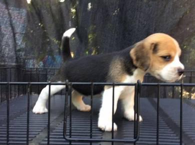 Beagle MKA Cert