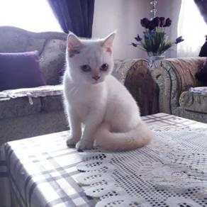 Flamepoint British shorthair kitten