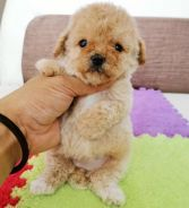 Fancy Colour Super Tiny Poodle Puppy * GIRL