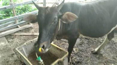 Lembu jantan cukup umur