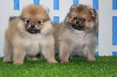 Chubby Pomeranian