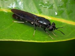 Turning waste into food via black soldier fly