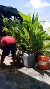 Benih kelapa Matag f2 dijual
