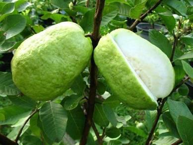 Pokok Jambu Batu Vietnam (seedless)