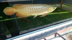 Super red arowana local breed