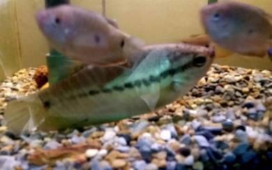 Ikan Sepat 10 Ekor