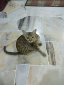 Kucing Kampung (Bunting)