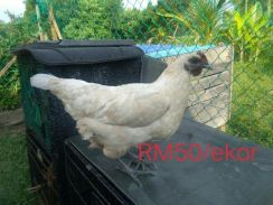 Ayam selasih
