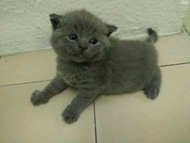 Pure Breed British Short Hair kitten free makanan