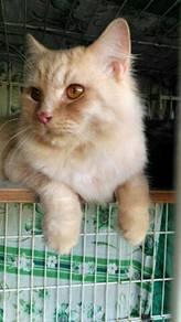 Kucing parsi&mix; mancoon