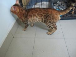Bengal for Mating