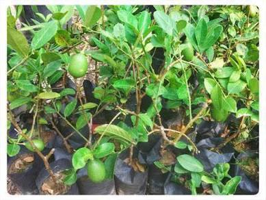 Benih Lemon seedless >Cita Tani Nursery