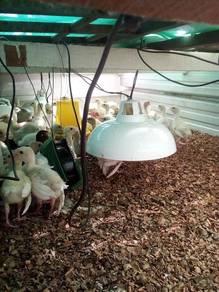 Anak ayam belanda