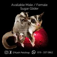 Sugar Glider Male/ Female