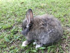 Arnab Rabbit (Mix Angora)