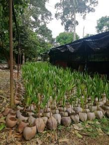 Kelapa matag (benih)