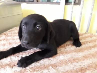 Black Labrador Puppies