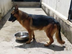 2Years old German Shpherd Male Dog available