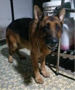 Imported German Shepherd Male for Coownership