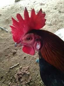 Ayam hutan Muda