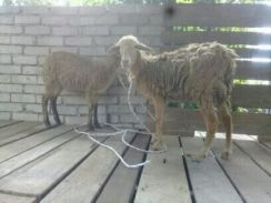 Kambing Biri2 Malin Cross