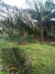 Ladang kelapa sawit 500 ekar keratong pahang