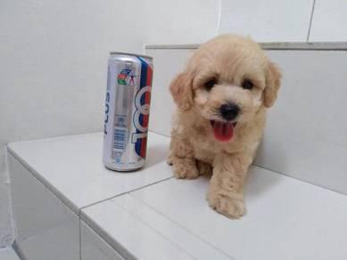 Teddy Short Legs Tiny Toy Poodle