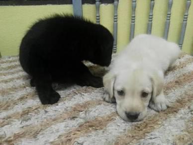 Labrador Retriver Puppies