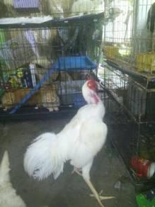 Ayam baik putih