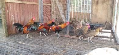 Ayam Hutan Muda dan Serati Rendang Raya