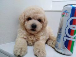 Thick Fur Short Legs Tiny Toy Poodle