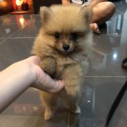 Pure breed Pomeranian puppy