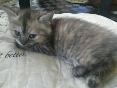 Kitten Hana Montana