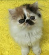 Persian Pure Cat Female Colico