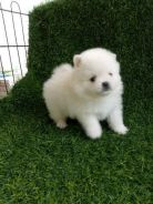 Pomeranian Puppy With MKA Cert
