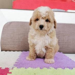 Fancy Tiny Toy Poodle Puppy * BOY